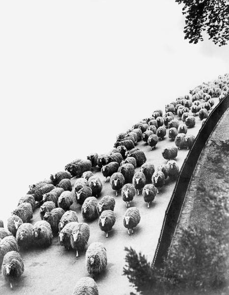 Migrate Photograph - Hyde Park Sheep Flock by Underwood Archives