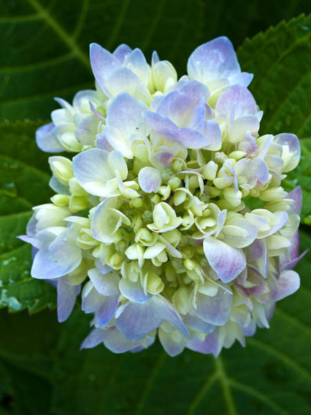 Photograph - Hydrangea-1 by Charles Hite