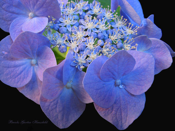 Garten Wall Art - Photograph - Hydrangea Blossom Macro by Brooks Garten Hauschild