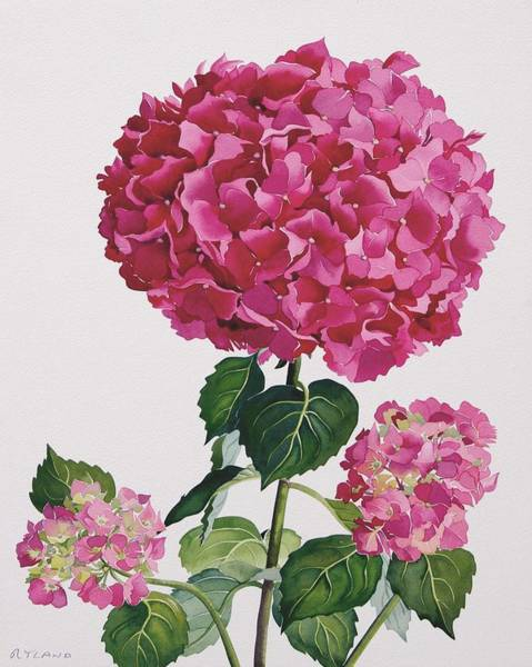 Pretty In Pink Wall Art - Painting - Hydrangea by Christopher Ryland