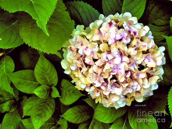 Photograph - Hydrangea by Claire Bull