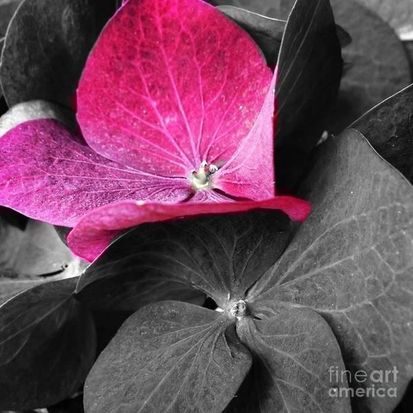 Photograph - Hydrangea by Cristina Stefan