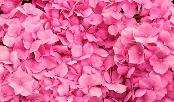 Wall Art - Photograph - Hydrangea Flower And Soil Acidity by Adrian Thomas/science Photo Library