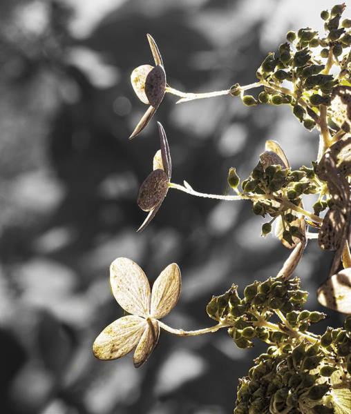 Photograph - Hydrangea Flowers by Steven Ralser
