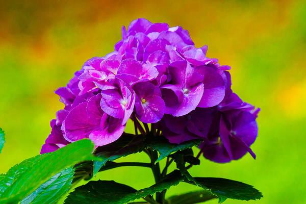 Photograph - Hydrangea by Robert L Jackson