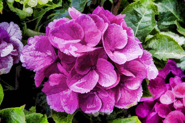 Digital Art - Hydrangea by Photographic Art by Russel Ray Photos