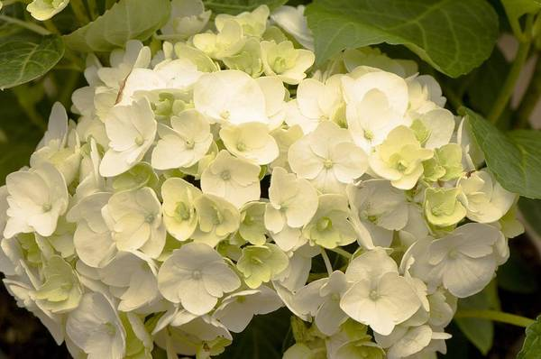 Wall Art - Photograph - Hydrangea 'snowball' by Science Photo Library