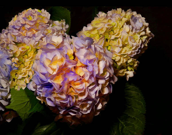 Photograph - Hydrangea Study by Grace Dillon