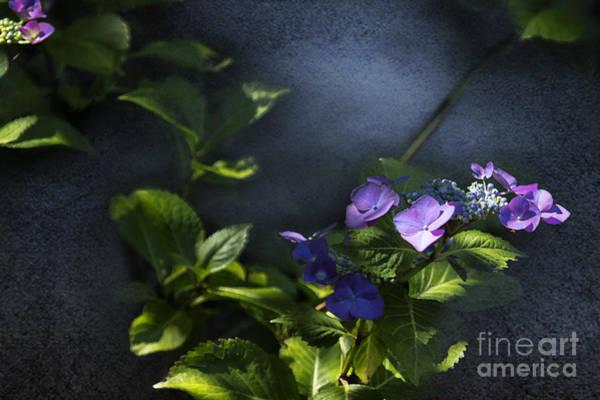 Photograph - Hydrangea Violet-blue by Belinda Greb