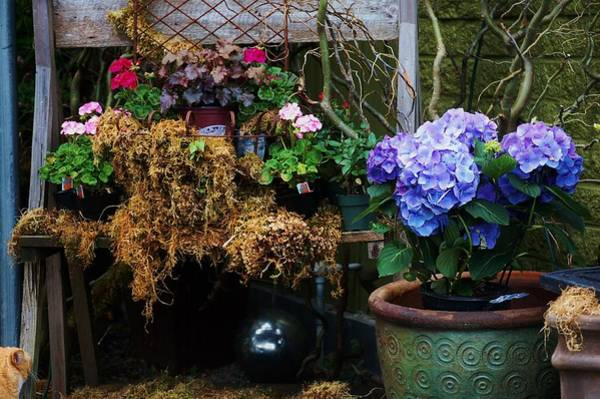 Photograph - Hydrangeas by Helen Carson