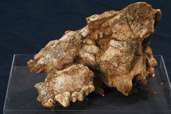 Hyena Photograph - Hyena Skull Fossil by Marco Ansaloni / Science Photo Library