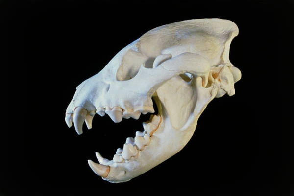 Hyena Photograph - Hyena Skull by Sinclair Stammers/science Photo Library.