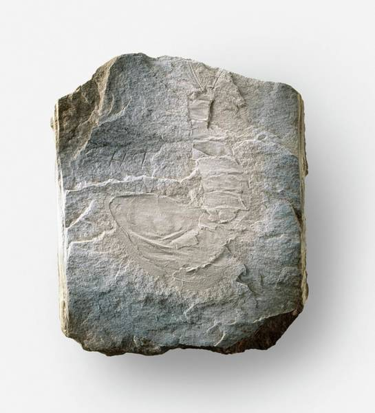 Extinct Photograph - Hymenocaris Fossilized In Stone by Dorling Kindersley/uig