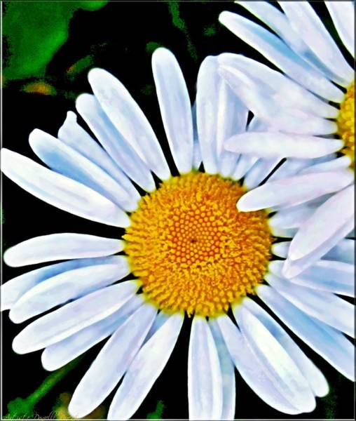 Photograph - Hymne Au Printemps White Daisies by Danielle  Parent