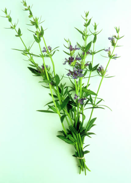 Medicinal Photograph - Hyssop Herb by Th Foto-werbung/science Photo Library
