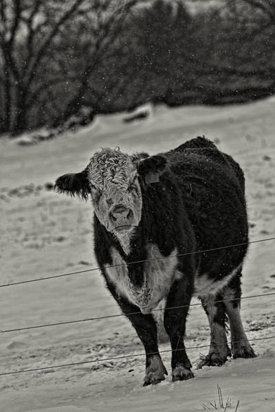 Photograph - I Am Not A Happy Cow by Thomas Young