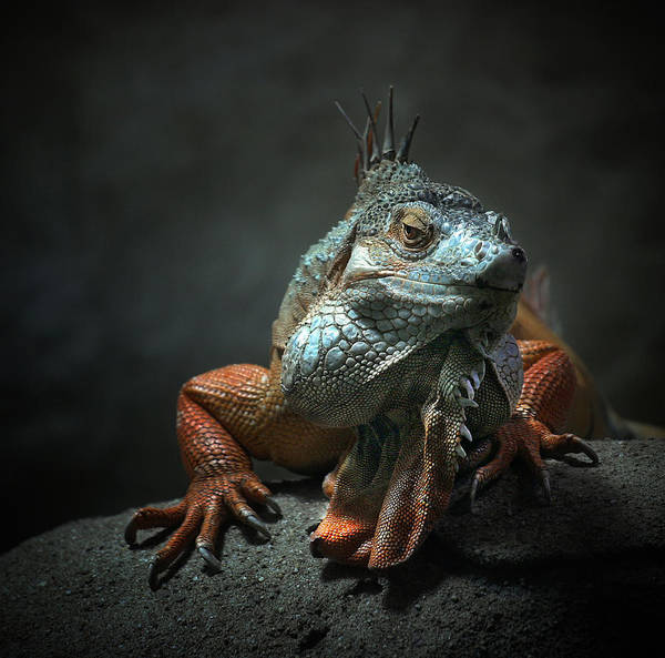 Lizard Photograph - I Am The King ,.. Who Else ! by Holger Droste
