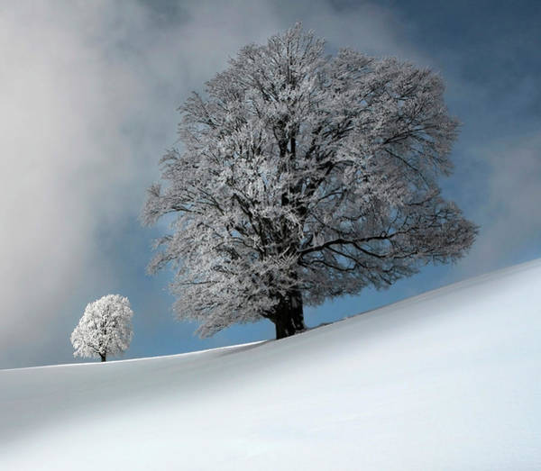 Snowy Trees Photograph - I Am The Most Beautiful by Franz Schumacher