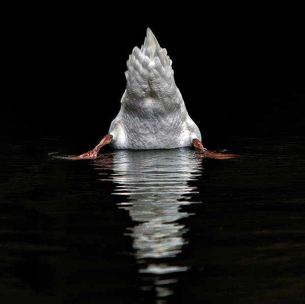 Swan Photograph - I Don't Like Photographers ! by Piet Flour