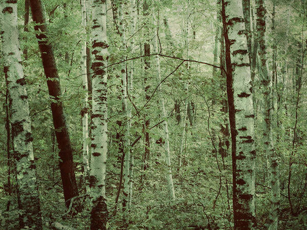 Photograph - Dreams Of A Forest by Mary Wolf