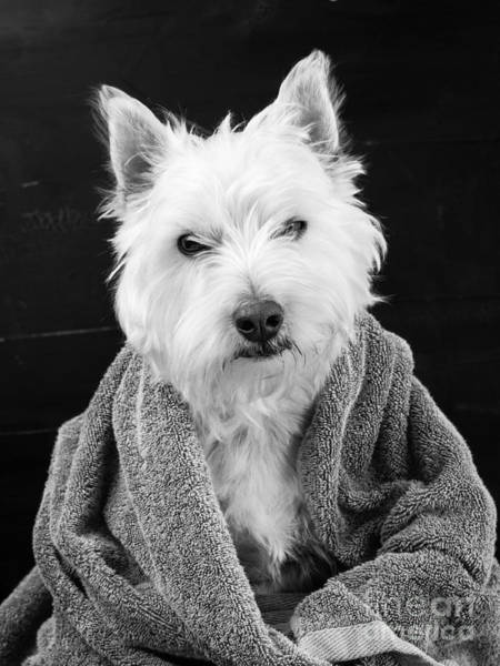 Westie Photograph - I Hate Mondays by Edward Fielding