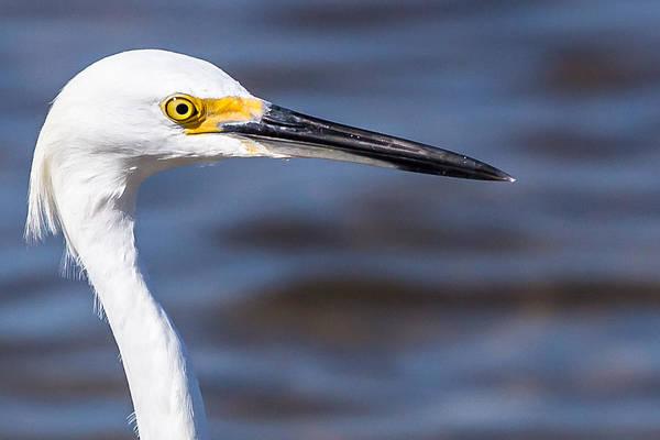 Photograph - Snowy Egret by Richard Goldman
