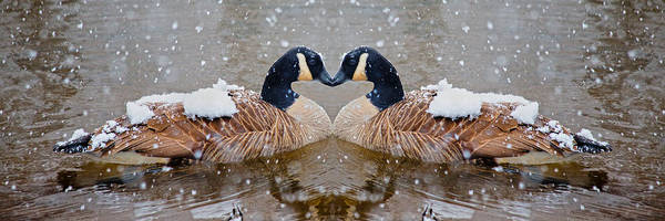 Snow Goose Photograph - I Heart You by Betsy Knapp