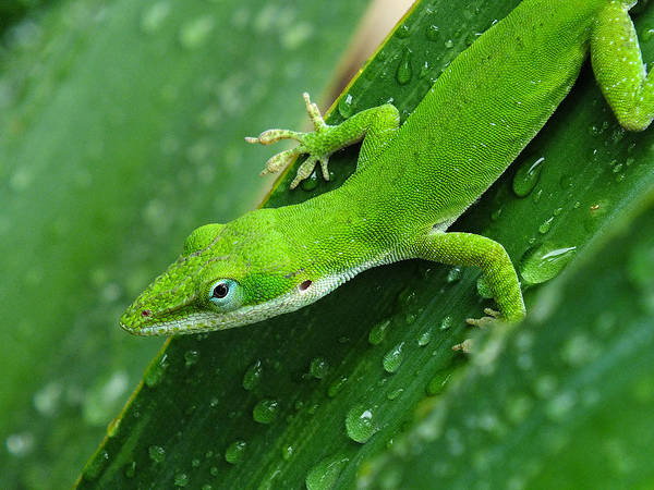 Green Anole Photograph - I Love Green by Bill Morgenstern