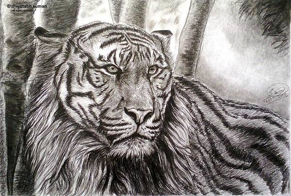 Bengal Tiger Drawing - I See You by Shwetabh Suman