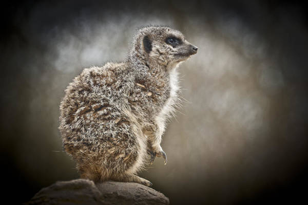 Photograph - I Spy A Meerkat by Chris Boulton