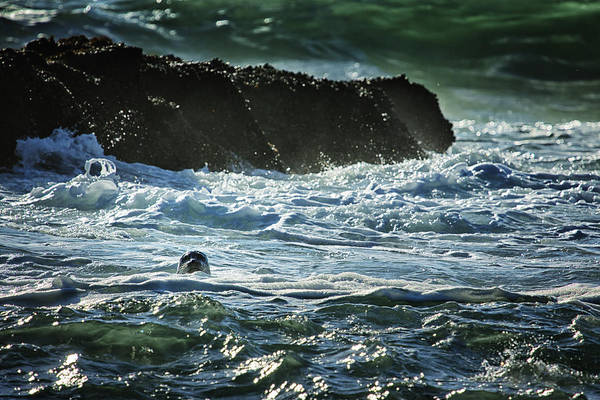 Photograph - I Spy A Seal by Belinda Greb