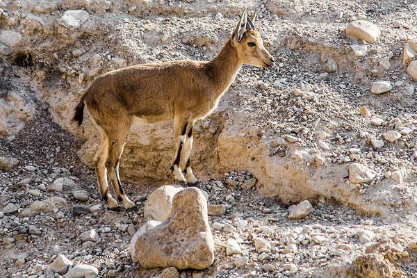 Photograph - Ibex At Ein Gedi by Karen Saunders