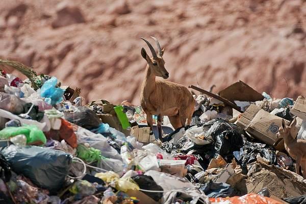 Ibex Wall Art - Photograph - Ibex In City Dump by Photostock-israel