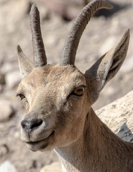 Photograph - Ibex by Karen Saunders