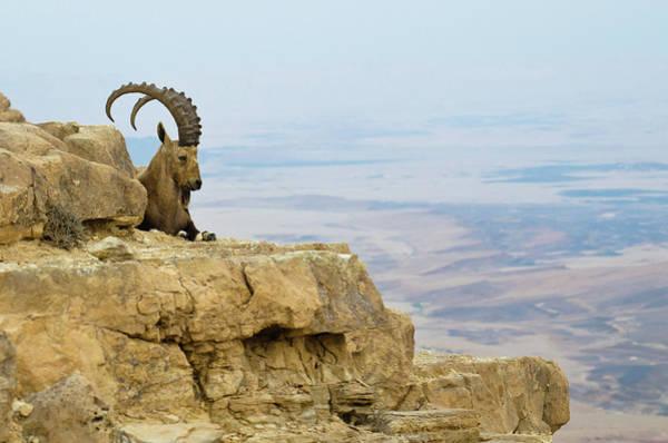 Ibex Wall Art - Photograph - Ibex On Ledge by Ilan Shacham