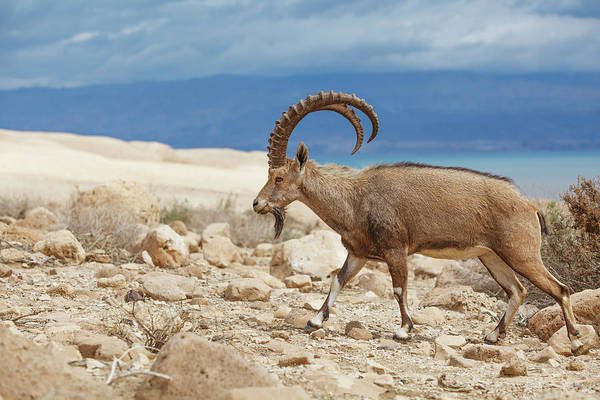 Ibex Wall Art - Photograph - Ibex Walking On The Rocky Ground By The by Reynold Mainse / Design Pics