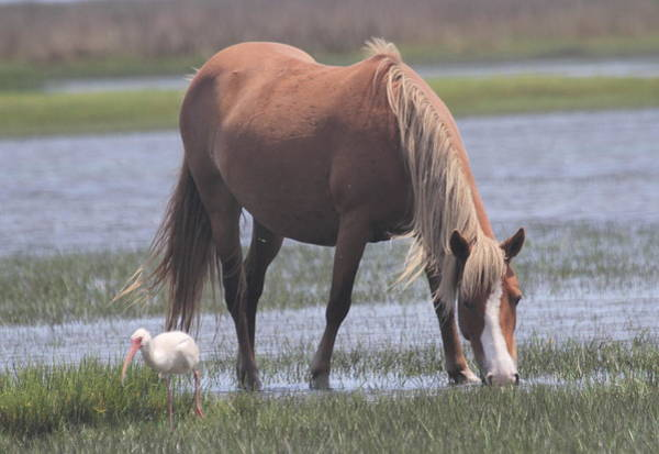Conyers Photograph - Ibis And Shackleford Pony 2 by Cathy Lindsey