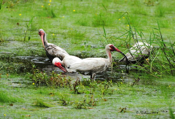 Photograph - Ibis In Willow Pond by Dan Williams