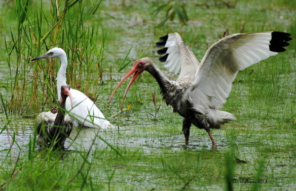 Photograph - Ibis Landing by Dan Williams