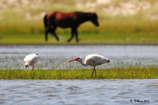 Photograph - Ibis On Carrot Island by Dan Williams
