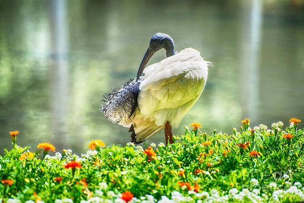 Photograph - Ibis  by Yew Kwang
