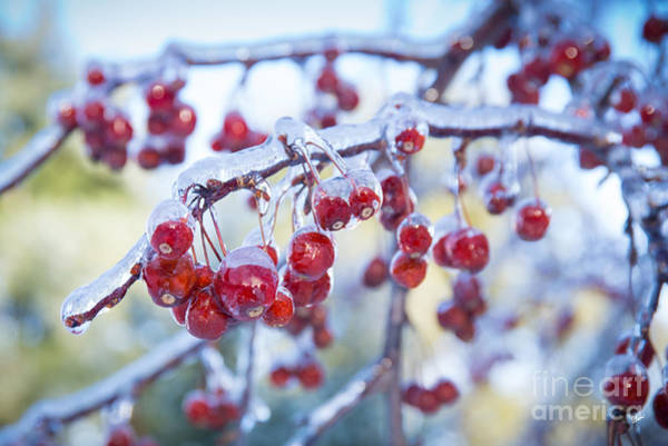 Photograph - Ice Covered Crab Apples by Alana Ranney