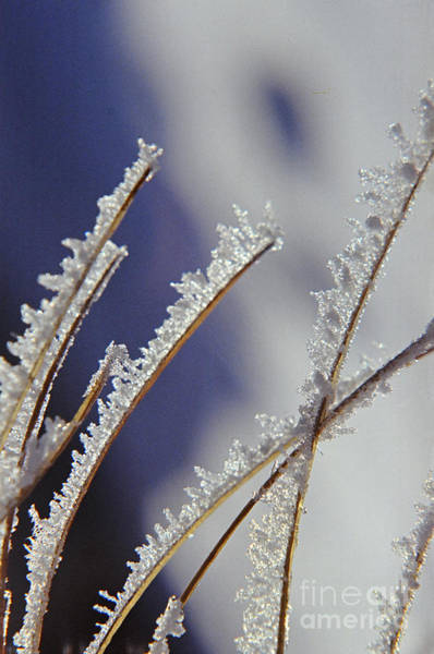 Photograph - Ice Crystals On Fireweed Fairbanks  Alaska By Pat Hathaway 1969 by California Views Archives Mr Pat Hathaway Archives