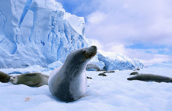 Ice Floe Photograph - Ice Floe With Crabeater Seals Lobodon by Grant Dixon