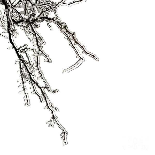 Wall Art - Photograph - Ice On Branches by Blink Images