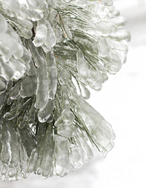 Wall Art - Photograph - Ice On Pine Branches by Blink Images