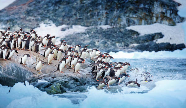 Gentoo Wall Art - Photograph - Ice Swimmers by David Merron Photography