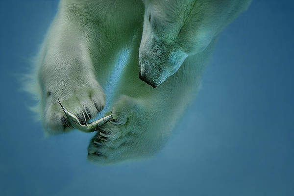 Diving Photograph - Icebaer by Peter Wagner