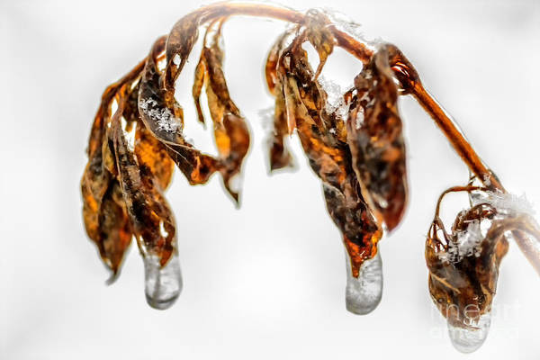 Pokes Wall Art - Photograph - Iced Pokeweed by Thomas R Fletcher