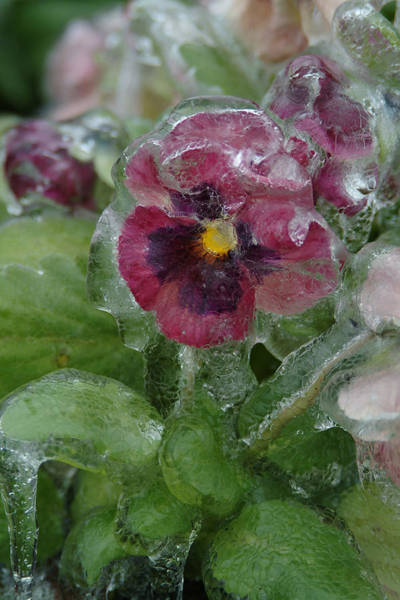 Photograph - Iced Purple Pansy by Wesley Elsberry